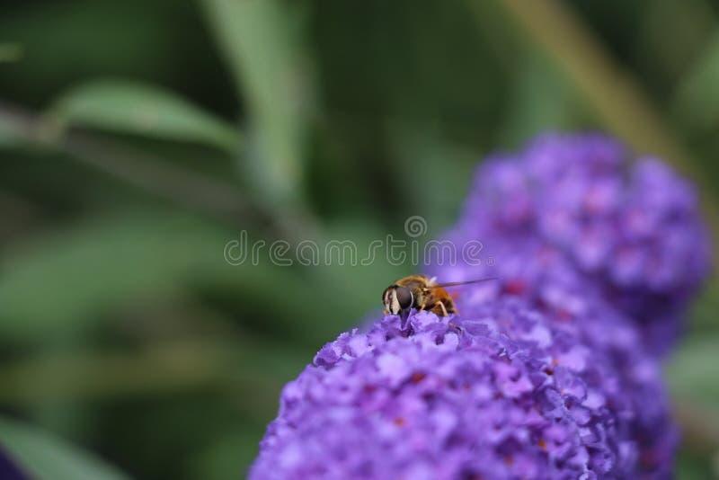 Macro della vespa sul fiore porpora fotografie stock libere da diritti