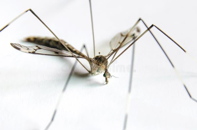 Macro della zanzara su fondo bianco fotografie stock libere da diritti