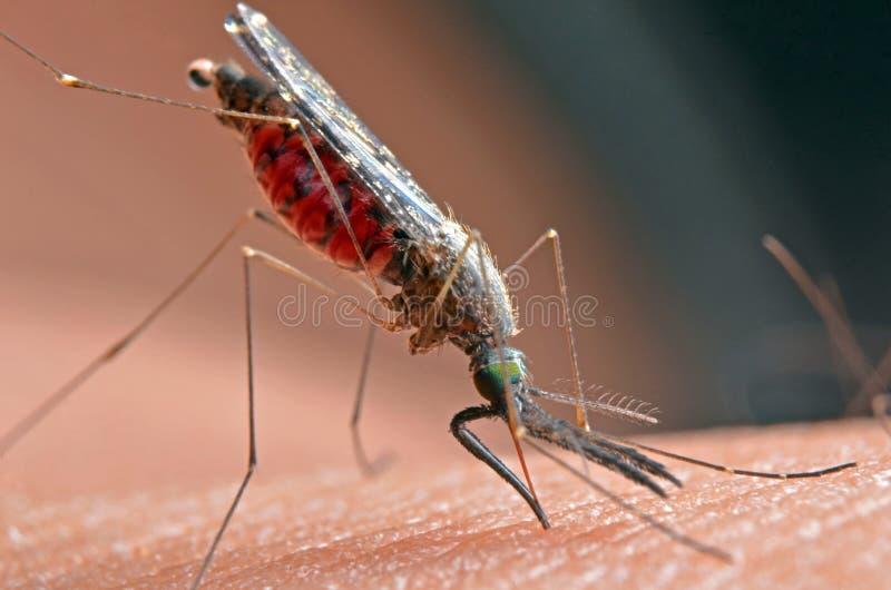 Macro delle zanzare virulente su pelle umana fotografia stock libera da diritti