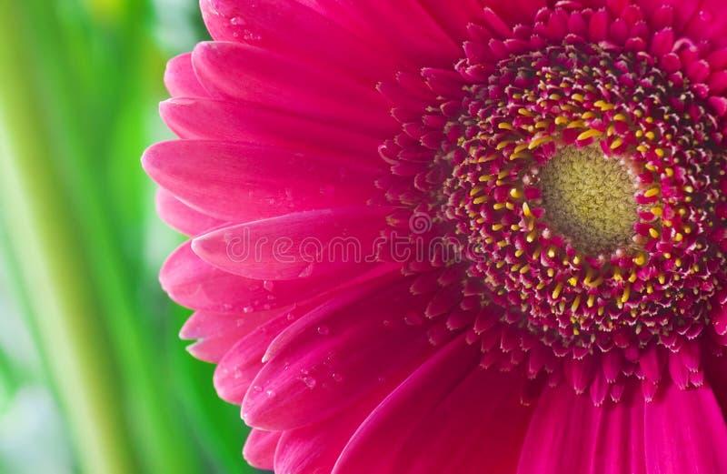 Macro dentellare del fiore fotografie stock libere da diritti