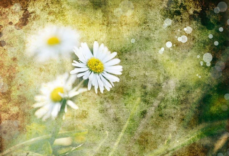 Macro des fleurs de camomille, fond de nature photographie stock libre de droits