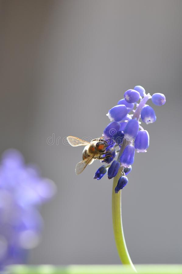 Flower with bee. Macro detail of blue muscari spring flowers with bee collecting pollen. Grape hyacinth royalty free stock photos