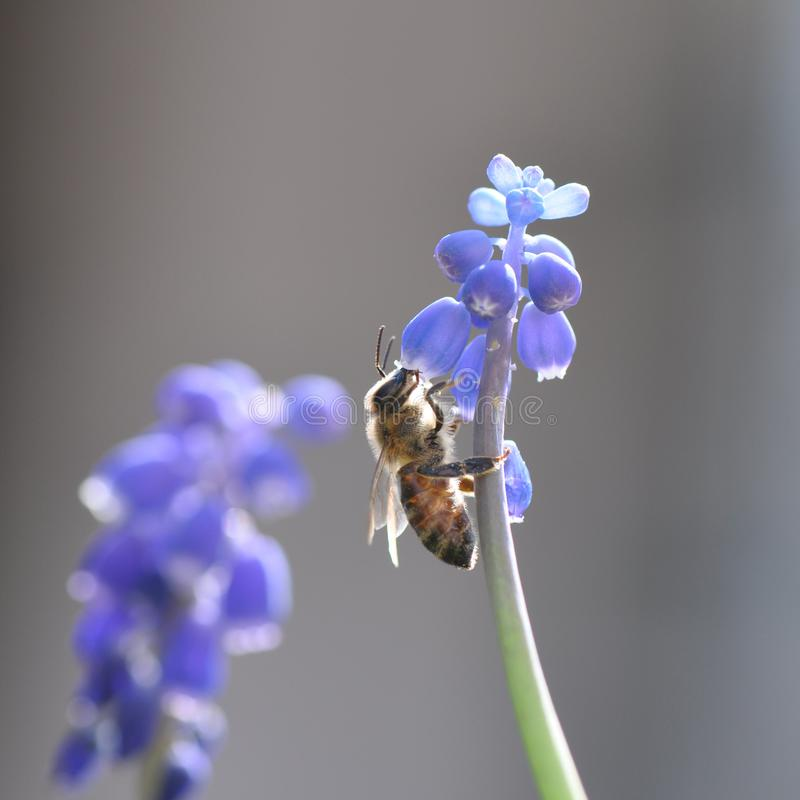 Flower with bee. Macro detail of blue muscari spring flowers with bee collecting pollen. Grape hyacinth stock photography