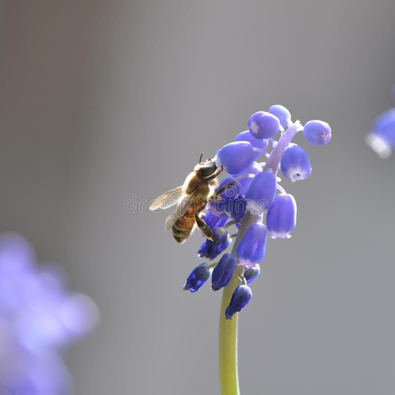 Flower with bee. Macro detail of blue muscari spring flowers with bee collecting pollen. Grape hyacinth royalty free stock photo