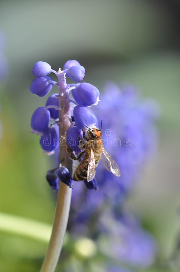 Flower with bee. Macro detail of blue muscari spring flowers with bee collecting pollen. Grape hyacinth stock images