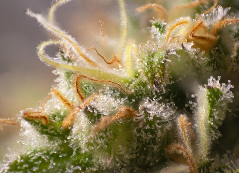 Macro detail of Cannabis flower thichomes industrial plant strain royalty free stock photos