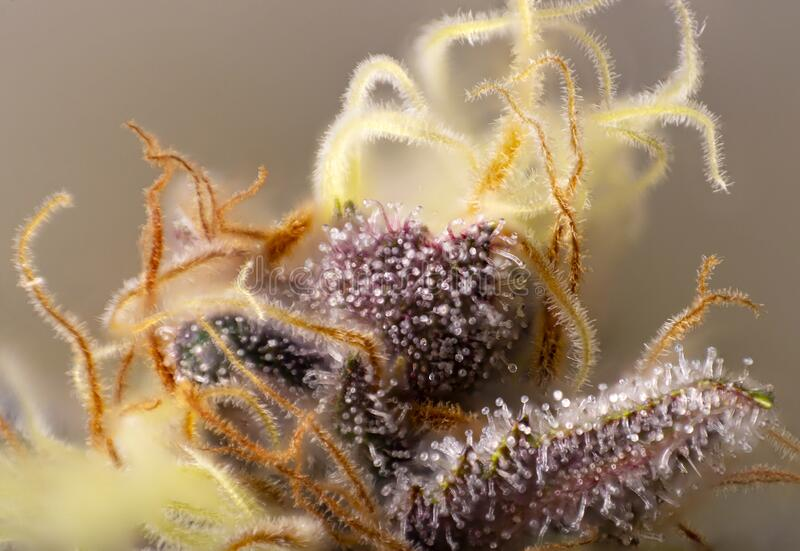 Macro detail of Cannabis flower thichomes purple queen strain royalty free stock photography