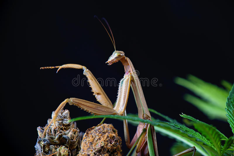 Macro detail of a Chinese praying mantis (Tenodera sinensis) iso. Macro detail of a Chinese mantis (Tenodera sinensis), a species of praying mantis native to stock images