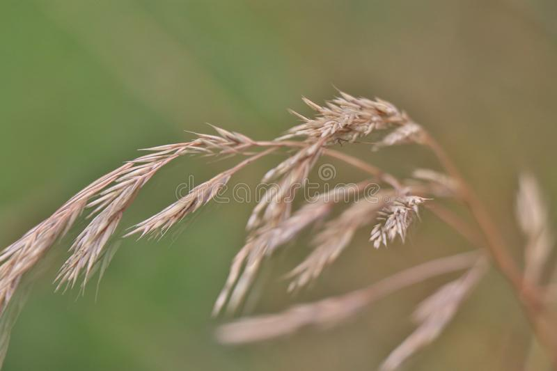 Macro detail of dry grass spike in late summer stock photos
