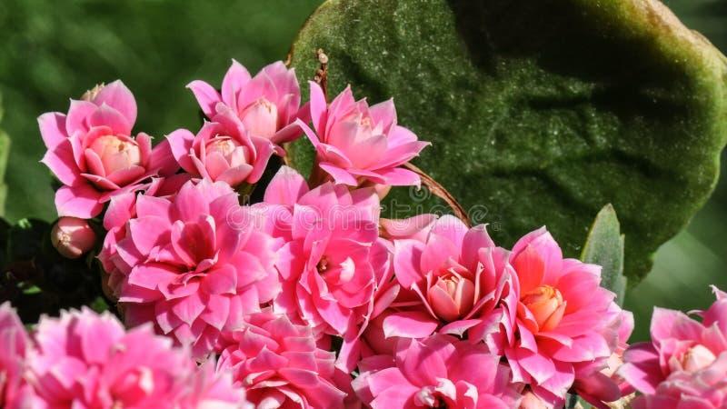 Flaming Katy flower stock photo