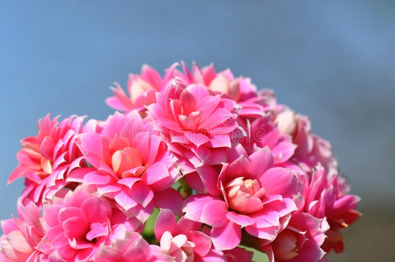 Flaming Katy flower royalty free stock photos