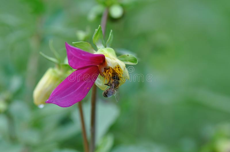 Garden dahlia with missing petals and bee. Macro detail of Garden dahlia. Flower, bushy royalty free stock images
