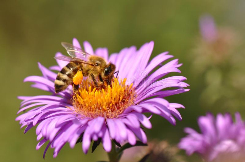 Bee collecting pollen from purple flower royalty free stock images