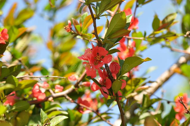 Japanese Quince Chaenomeles japonica stock photography