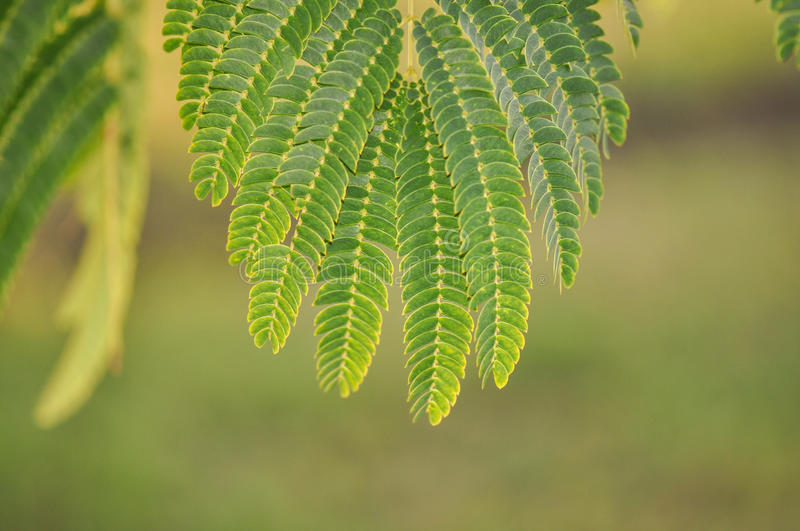 Mimosa Pudica royalty free stock images