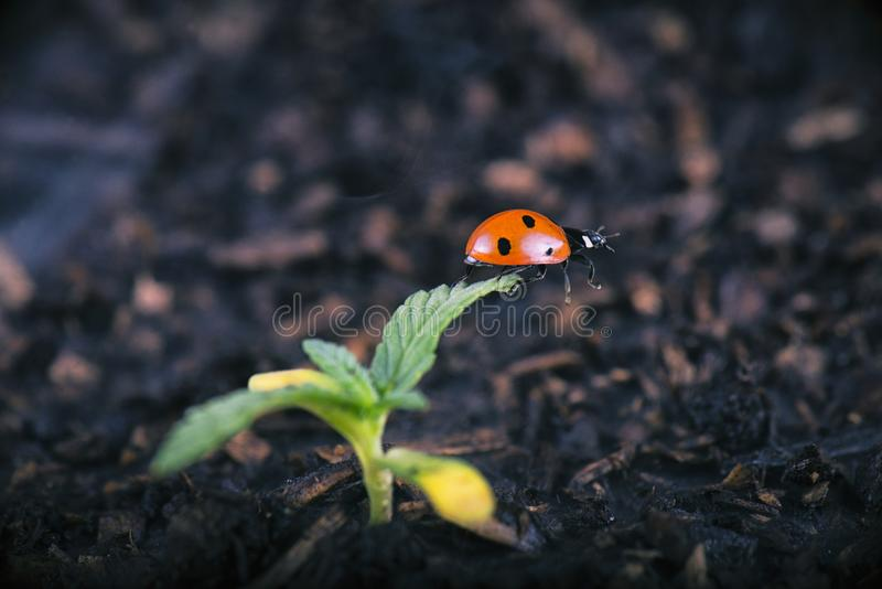 Macro detail of potted cannabis sprout with lady bug ladybeetle. Medical marijuana farming concept stock photo