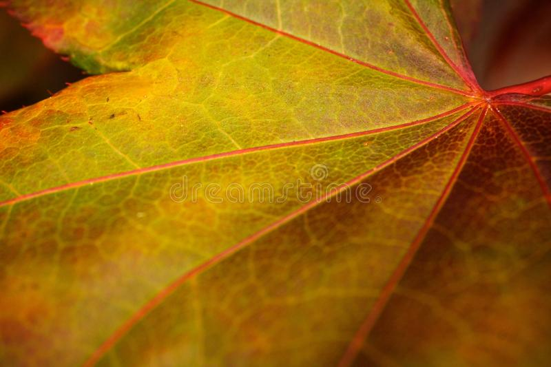 Macro Detail of a Single Fall Autumn Maple Leaf. Singe Colorful Maple Leaf Deciduous royalty free stock image