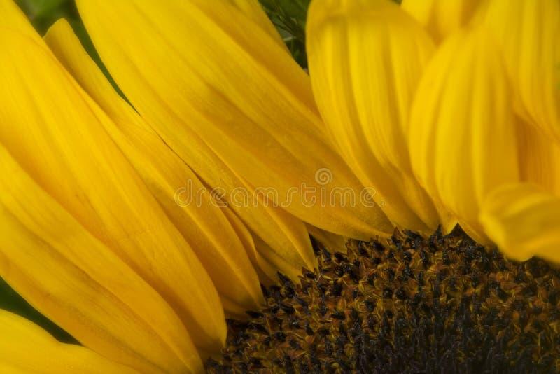 Macro detail of sunflower, in summer garden. stock image