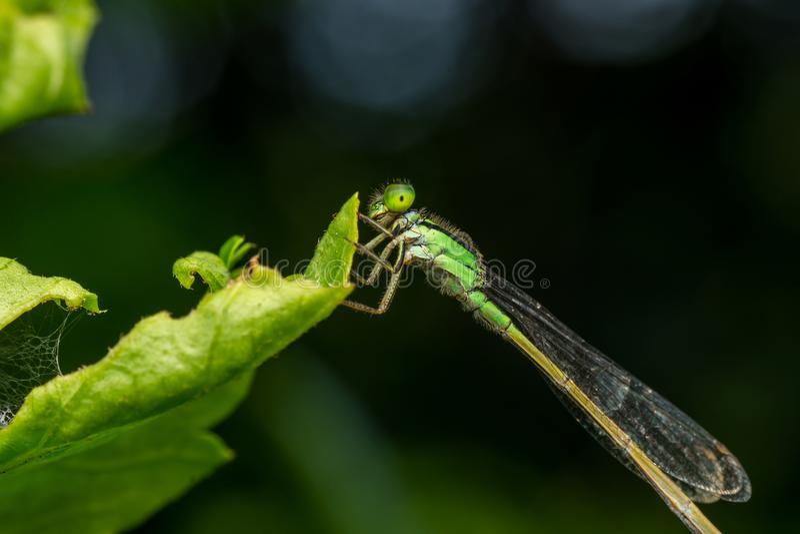 Macro-damsel-fly stay on green leave. Macro-detailed damsel-fly stay on green leave royalty free stock photo