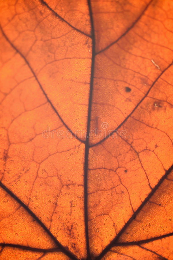 Macro details of autumn maple leaf through sunlight. In vertical frame royalty free stock images