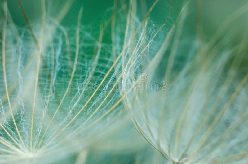 Macro details of the dandelion. In spring time stock photography
