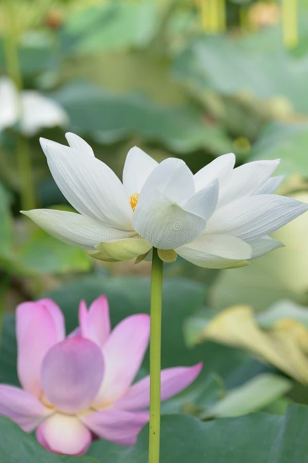 Macro details of Japanese White Lotus flowers at garden. In vertical frame stock photo