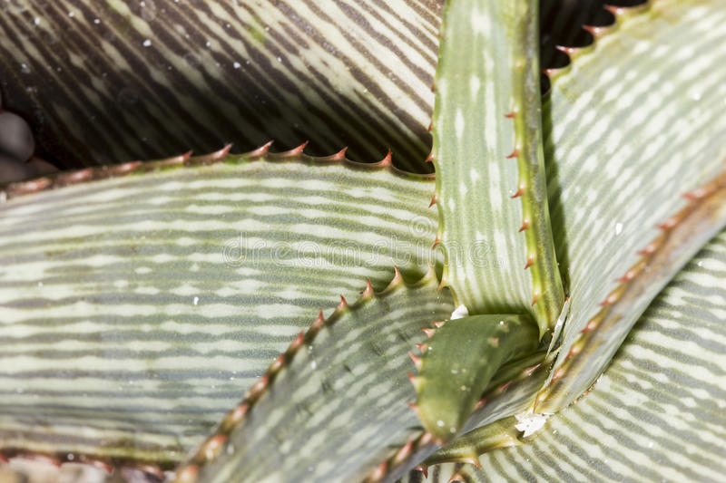Macro details of leaves of an Aloe branddraaiensis succulent. This plant has a rosette of large, thick, fleshy leaves stock photography