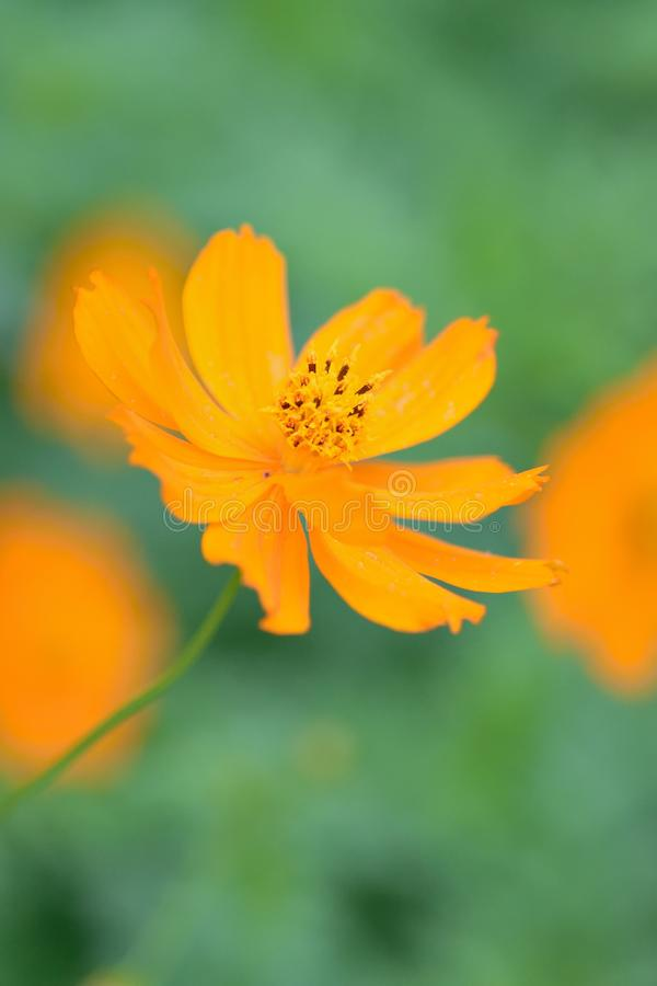 Macro details of summer sulfur Cosmos flower. In vertical frame royalty free stock photography