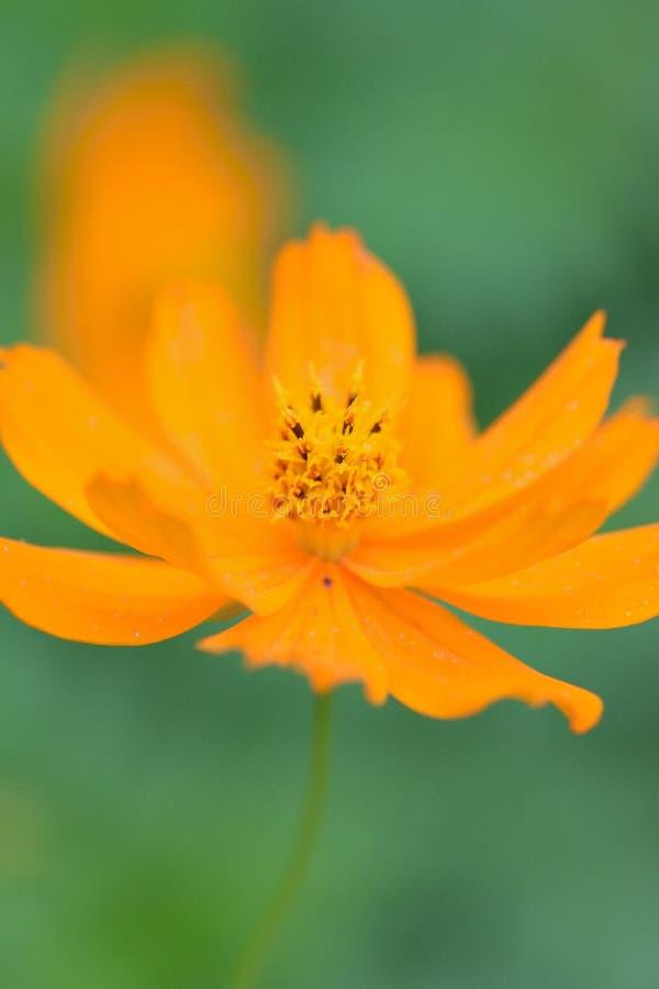 Macro details of summer sulfur Cosmos flower. In vertical frame stock photo