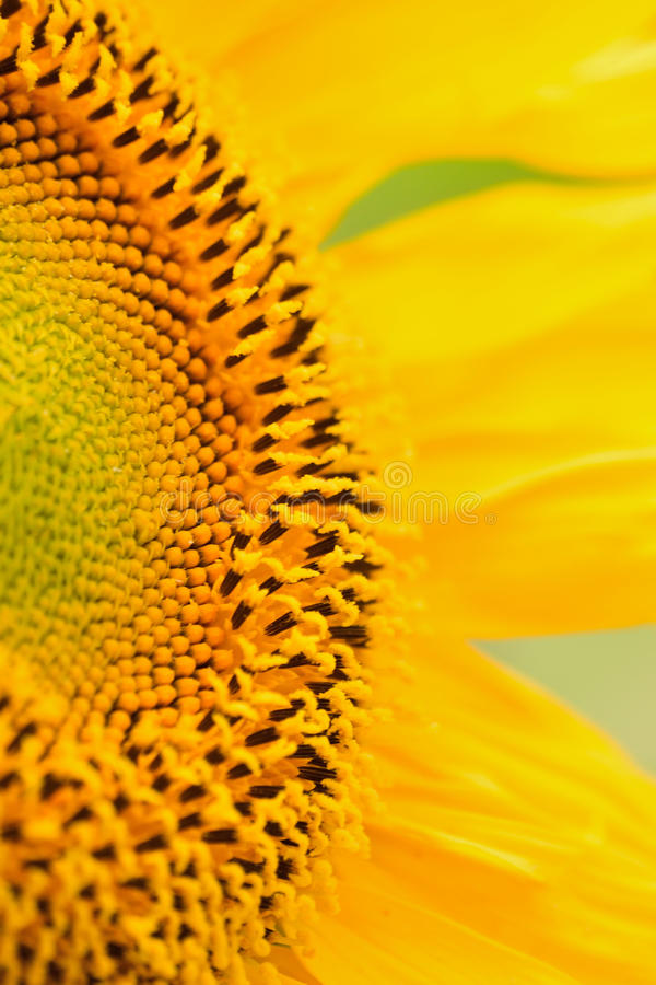 Macro Details of Sunflower surface. In vertical frame royalty free stock images