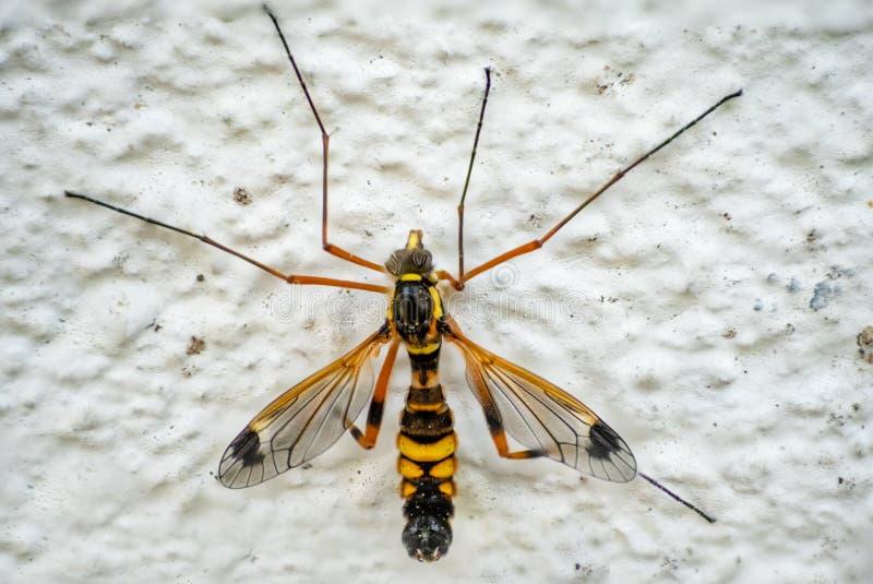 Macro detallada de una mosca de grúa masculina fotografía de archivo libre de regalías