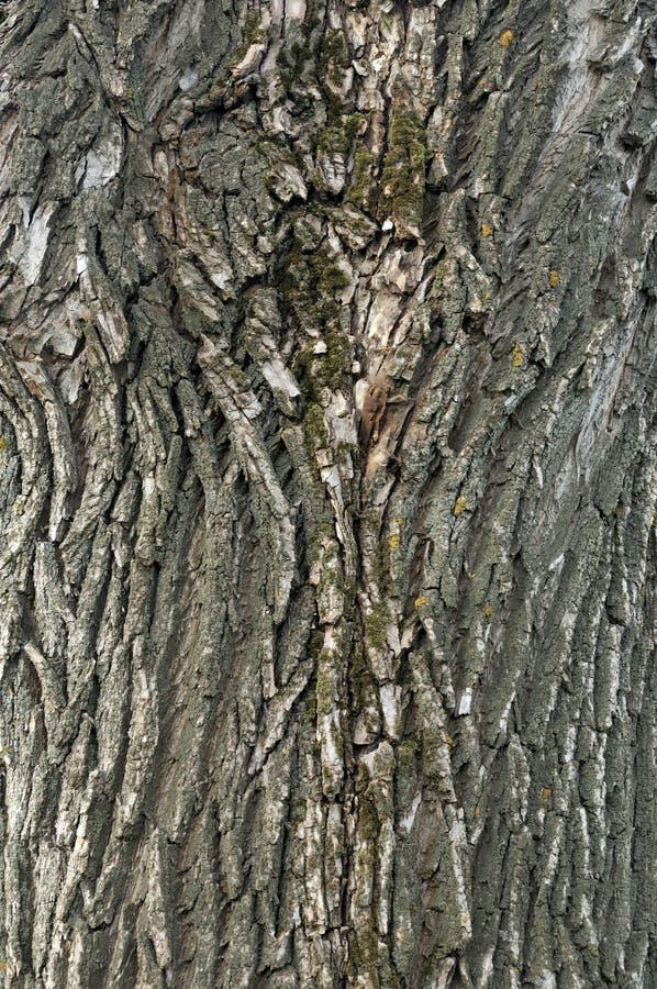 Macro dettaglio del primo piano di vecchio bello brigantino a palo invecchiato della corteccia di albero dell'acero della quercia fotografia stock libera da diritti