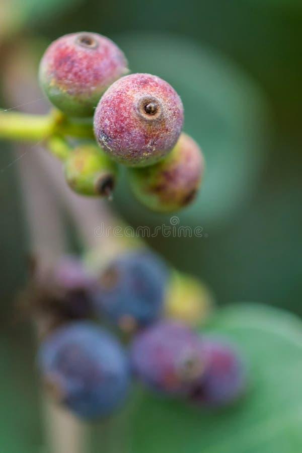 Macro dettaglio delle bacche verdi e porpora di una pianta tropicale immagine stock libera da diritti