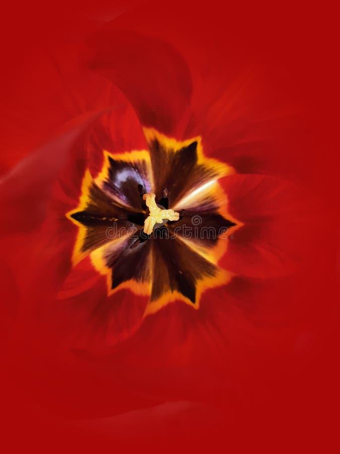 Macro dettaglio di un pistillo del tulipano fotografia stock
