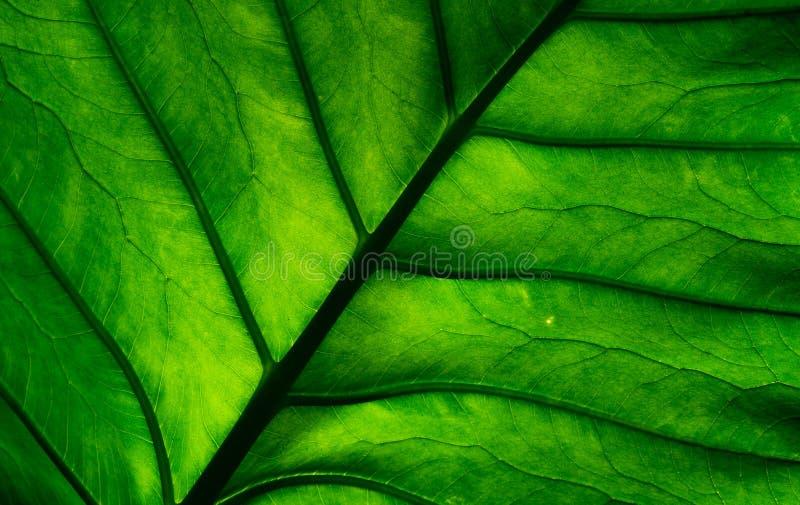 Macro dettaglio sparato della foglia verde Fondo verde naturale di struttura della foglia Fondo per i prodotti biologici fotografie stock