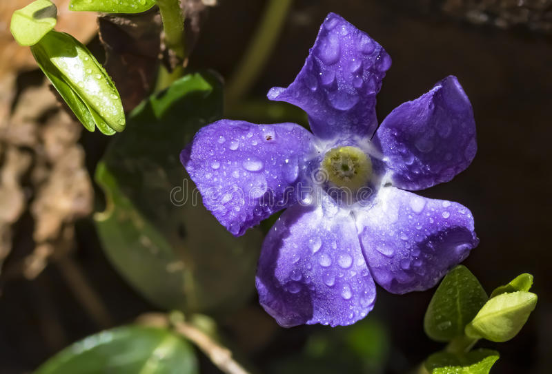 Macro Dewy Periwinkle Flower. A closeup shot of a dew on a creeping myrtle flower, also known as a periwinkle or vinca royalty free stock photography