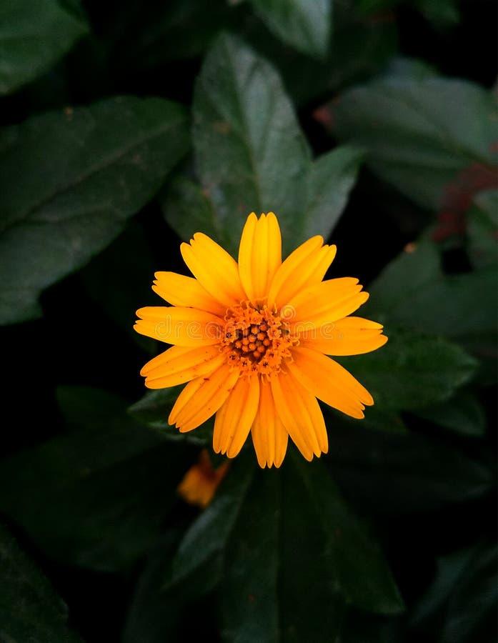 Macro di bello fiore giallo sul fondo verde scuro della sfuocatura fotografia stock