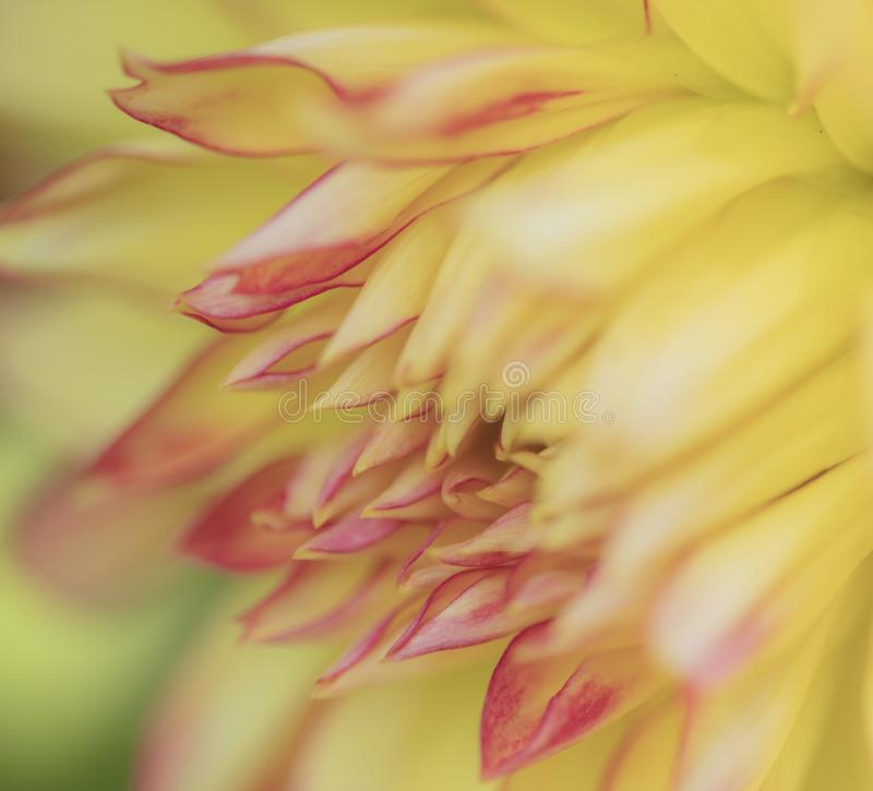 Macro di Dahlia Yellow Red Sideview Closeup fotografie stock libere da diritti