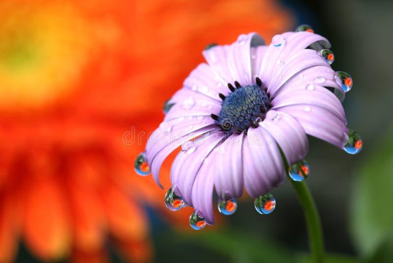 Macro di Daisy Flower Water Drops Reflection dell'Africano fotografie stock libere da diritti
