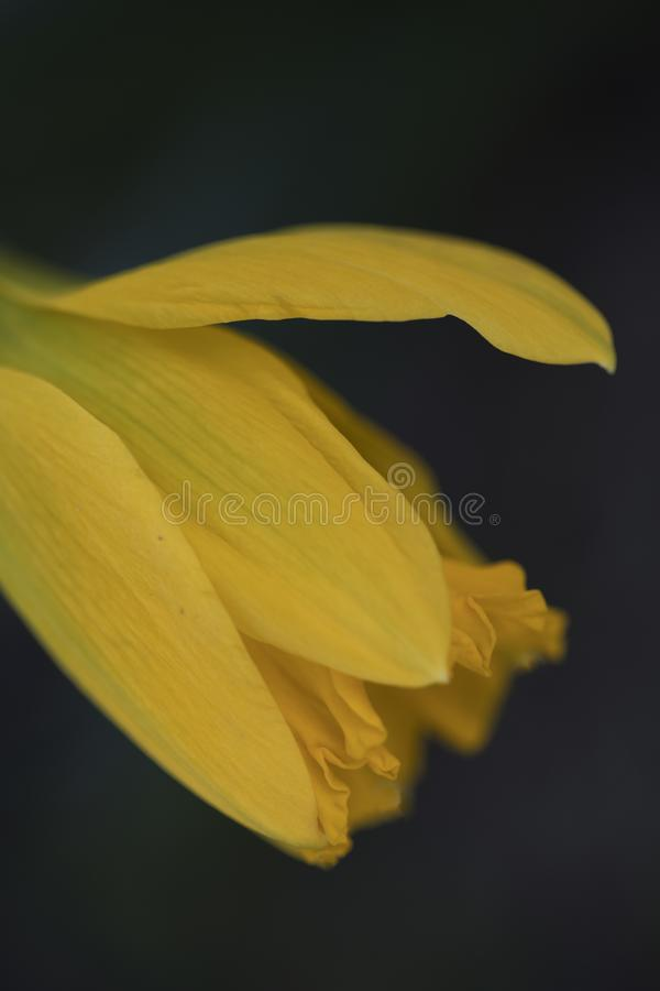 Macro di Narcissus Daffodil Yellow Sideview Closeup fotografie stock