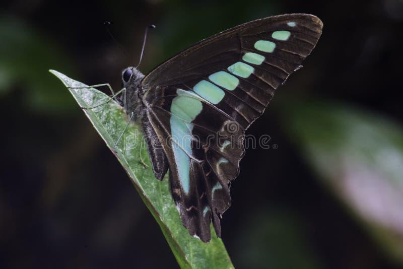 Macro di riposo 2 della farfalla di moscone azzurro della carne immagine stock