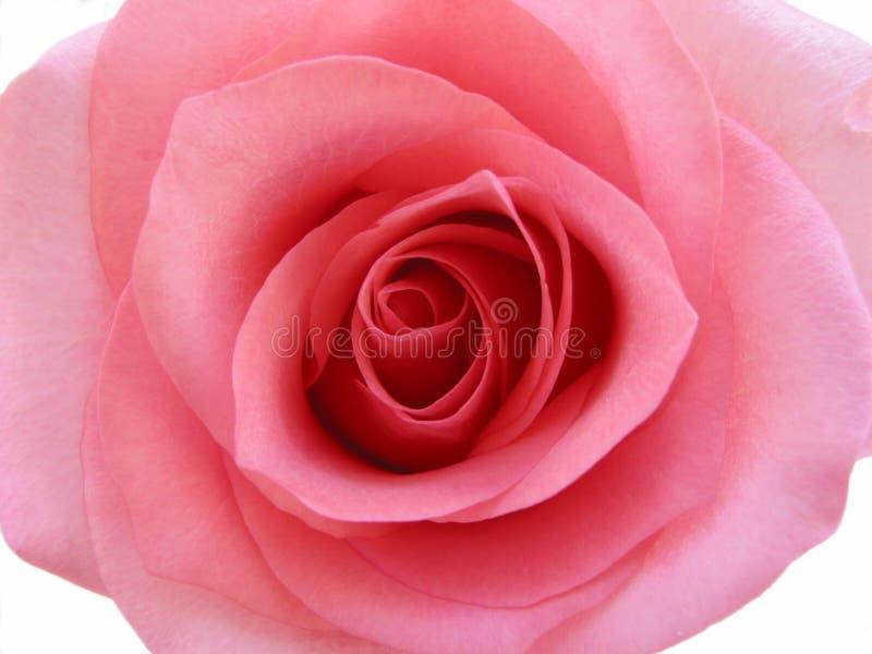 Macro di rosa di colore rosa isolata fotografie stock libere da diritti