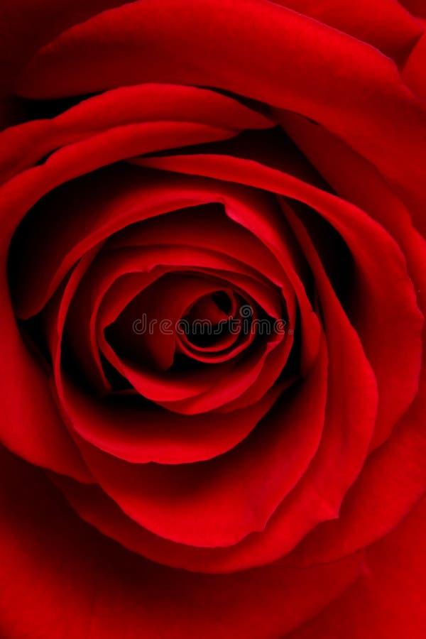 Macro di rosa di colore rosso fotografie stock