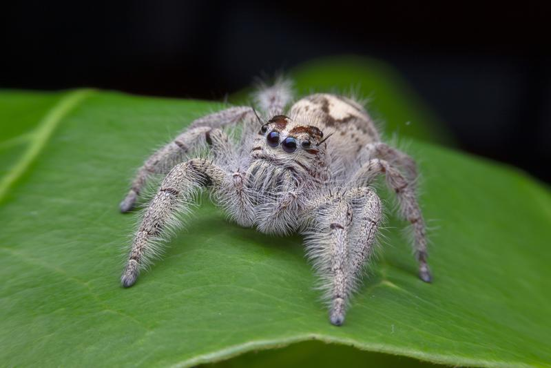 Macro di salto del ragno di scenicus di Salticus, piccolo insetto nel natu immagini stock libere da diritti