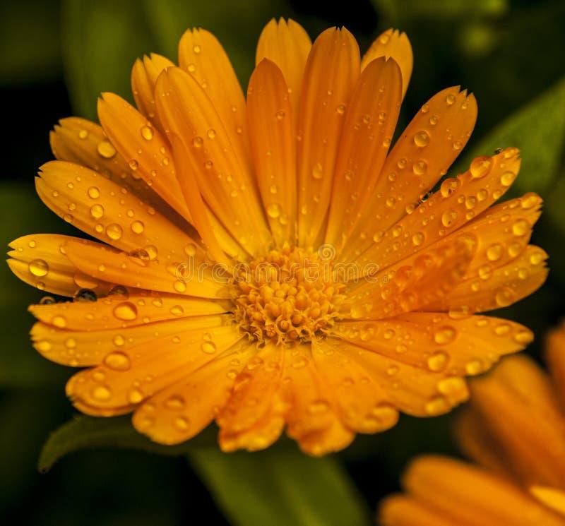 Macro di un fiore fotografie stock libere da diritti