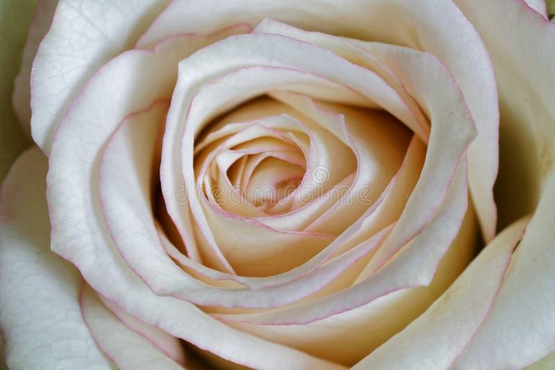 Macro di un fiore rosa bianco fotografia stock