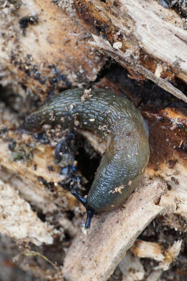 Macro di un mollusco caucasico adulto grigio del ater o di Arion della lumaca immagine stock
