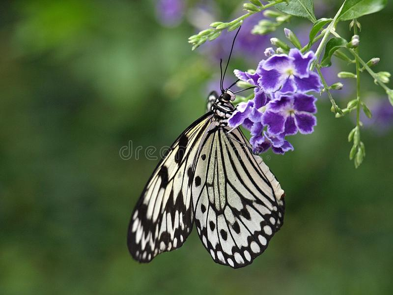 Macro di una farfalla bianca della crisalide fotografia stock