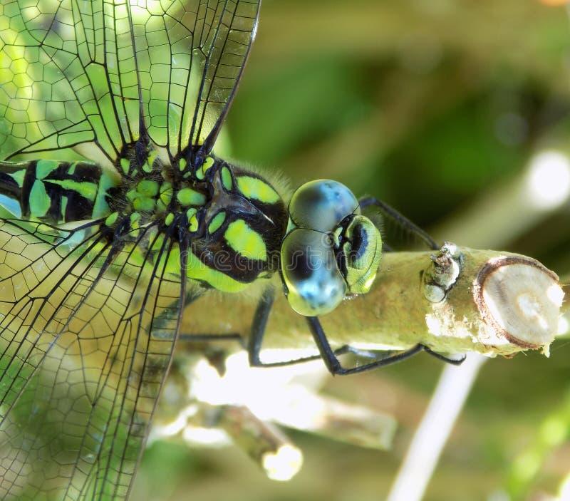 Macro di una libellula del sud maschio del venditore ambulante fotografia stock libera da diritti