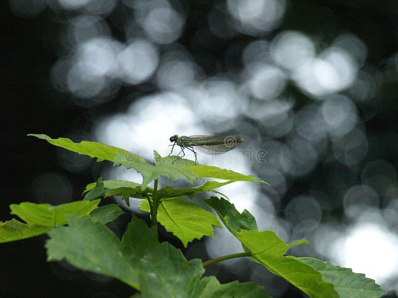 Macro di una libellula vasto-alata blu fotografia stock